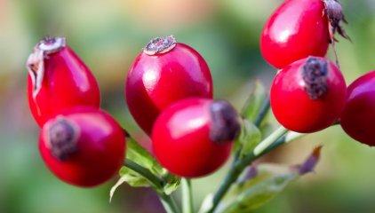 Dzika róża – najlepsze źródło witaminy C